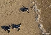 Sea Turtles Nesting